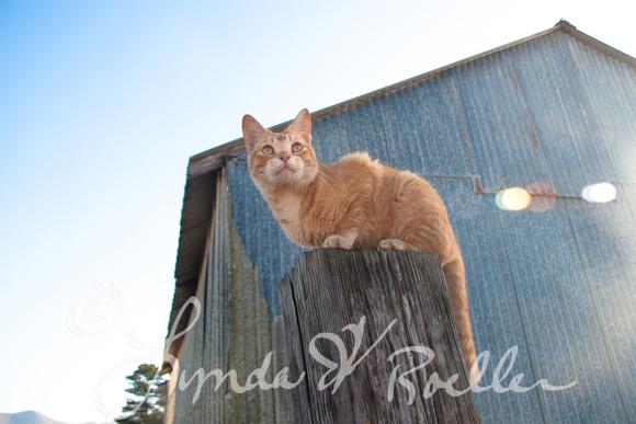 Barn Kitty